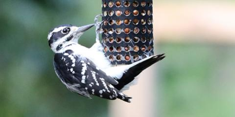 7 Basic Backyard Bird Feeders Series - #6 is Peanut Feeders, Lincoln, Nebraska