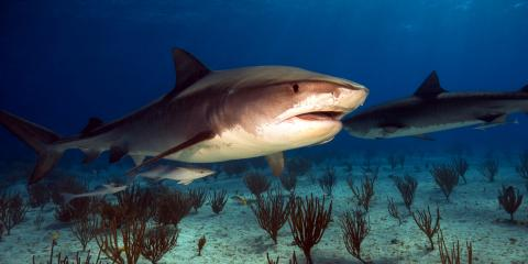 3 Ways Shark Diving Boosts Conservation Efforts, ,
