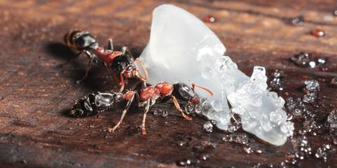 Understanding Ants to Prevent Home Infestations, North Hobbs, New Mexico