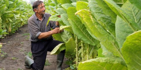 How Is Tobacco Harvested & Cured?, Palm Bay, Florida