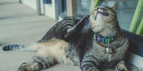 4 Flea Prevention Options for Cats, Honolulu, Hawaii