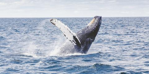 5 Tips for the Best Whale Watching Experience, Honolulu, Hawaii