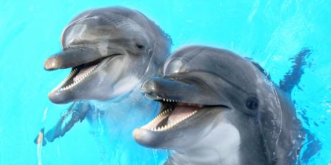 Dolphin Tour Pros Explain the Differences Between Bottlenoses & Spinners, Honolulu, Hawaii