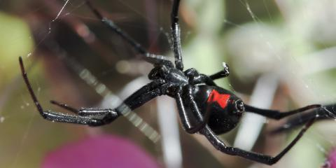 3 Texas Spiders to Be Aware Of, Houston, Texas