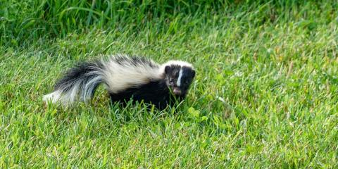 Do's & Don'ts of Handling a Skunk in Your Yard, Linden, Texas