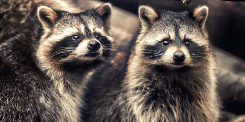 3 Steps to Easy Raccoon Removal, New Milford, Connecticut
