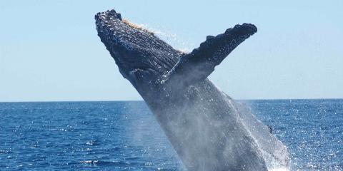 5 FAQ on Humpback Whale Migration to Hawaii, Kekaha-Waimea, Hawaii