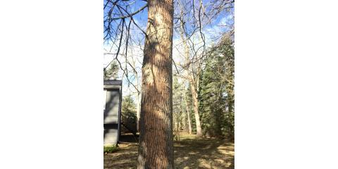 Emerald Ash Borer damage and what to look for, Scottsville, New York