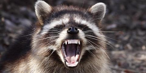 ​Scott Hendler of HLF wages courageous battle against gang of raccoons…bloodied but not bowed., Austin, Texas