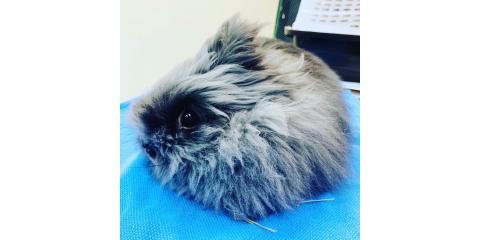 """""""Licorice,"""" The Lionhead Rabbit! , Sycamore, Ohio"""