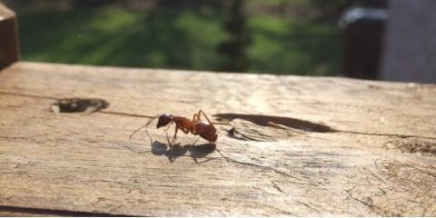 3 Signs You Need Carpenter Ant Control, Maineville, Ohio