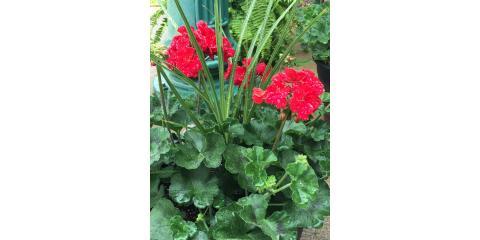 Geranium Pot Winner Selected, Lewisburg, Pennsylvania
