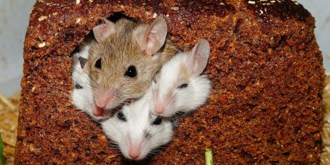 Send Mice Scurrying With Mice Control From Innovative Pest Management, Lexington-Fayette Southeast, Kentucky