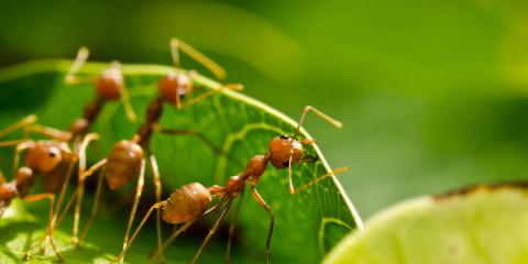Spring Ant Invasion: An Exterminator Explains Why It Happens, Jefferson City, Missouri