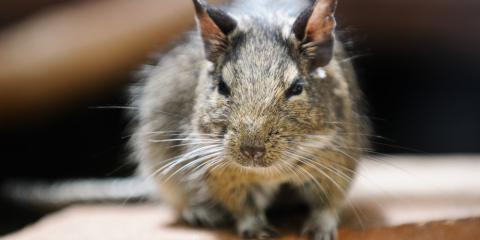 5 Exterminator Tips for Keeping Rodents at Bay, Kernersville, North Carolina