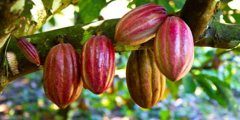 5 Interesting Facts About Hawaiian Chocolate, Kahuku, Hawaii