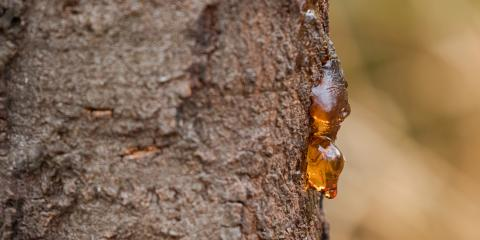 What Does it Mean When a Tree Bleeds Sap?, Kalispell, Montana