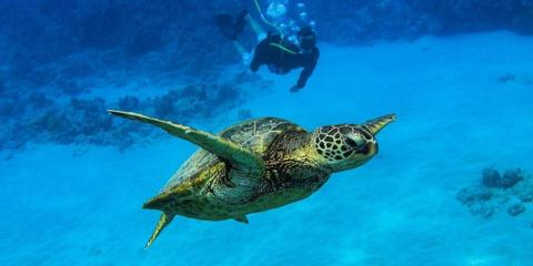 7 Fascinating Facts About the Green Sea Turtles of Hawaii, Ewa, Hawaii