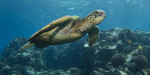 3 Interesting Facts About Hawaiian Sea Turtles, Ewa, Hawaii