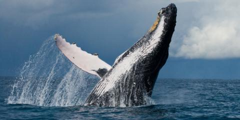 3 Fascinating Facts About Humpbacks for Your Next Whale Watching Adventure, Ewa, Hawaii