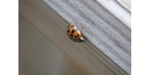 You May Think They're Cute, But Ladybugs Can Be a Menace to Your Home, Dousman, Wisconsin