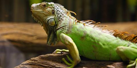 How to Create a Healthy Environment for a Pet Iguana, Shelby, Wisconsin