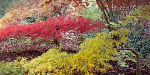 Ohio's Landscaping Center Lists the Advantages of Pruning Your Japanese Maples in Winter, Fairfield, Ohio