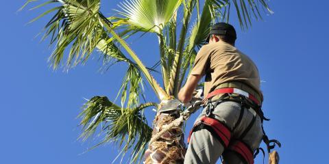 Tree Trimming vs. Tree Pruning, Ewa, Hawaii