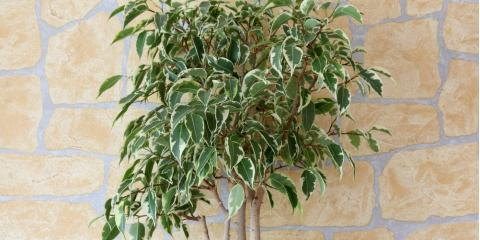 A Local Florist Shares 5 Fun Facts About Ficus , Port Jervis, New York