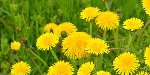 5 Common Weeds That Could Impact Your Lawn Maintenance, Kettering, Ohio