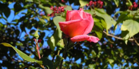 Pruning Roses, Northwest Clackamas, Oregon