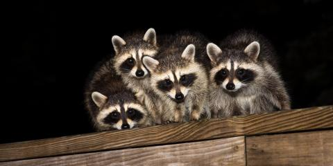 3 Signs You Have a Raccoon in Your Attic , Dayton, Ohio