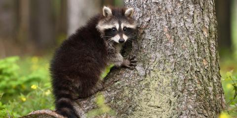 4 Ways Raccoons Can Damage Your Home, Dayton, Ohio