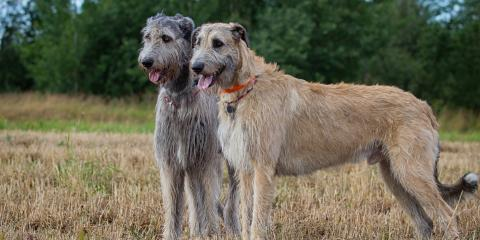 4 Common Health Issues for Large Dog Breeds, ,