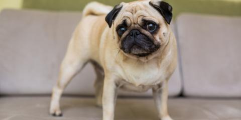 5 Common Health Problems in Small Dog Breeds, Lillian, Alabama