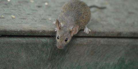 5 Differences Between Mice & Rats, Lincoln, Nebraska