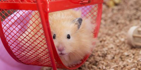 What to Know About Having a Pet Hamster, Lincoln, Nebraska