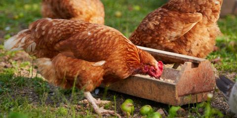 Livestock Supplies Company Discusses the Importance of Quality Chicken Feed , Bethel, Ohio
