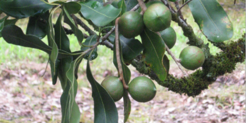 3 Ways to Practice Sustainable Macadamia Nut Farming, Honolulu, Hawaii