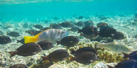 The history cultural significance of fish in ancient for Tropic fish hawaii