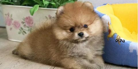 pomeranian for sale, Manhattan, New York