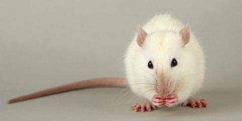 How to Deal With Mice & Rats in Your Home, Mobile, Alabama