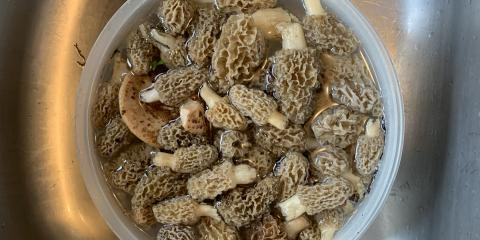 Earthy Treasures – It's Morel mushroom time!, ,