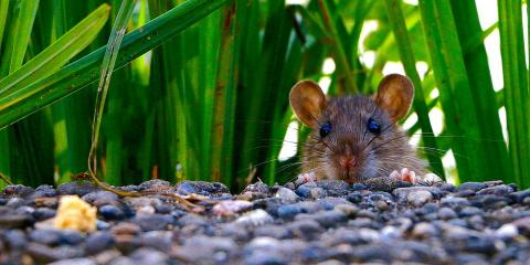 3 Signs You Need a Mouse Extermination Company, Lexington-Fayette, Kentucky