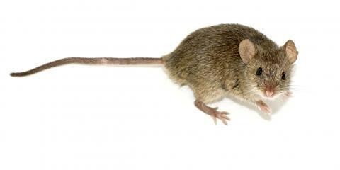 4 Reasons to Get Mouse Extermination Services in Lexington, Lexington-Fayette, Kentucky