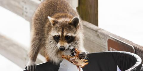 3 Tips for Keeping Raccoons Out of Your Trash, Three Sisters Mountain, Georgia