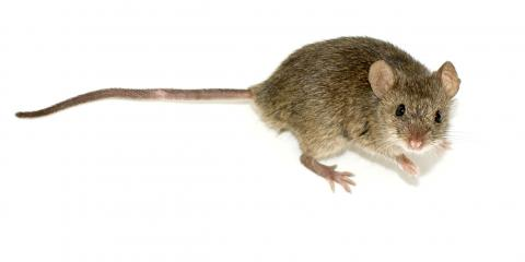 For Your Fall Mouse Extermination, Call on The Professionals at Guarantee Pest Control, Lexington-Fayette, Kentucky