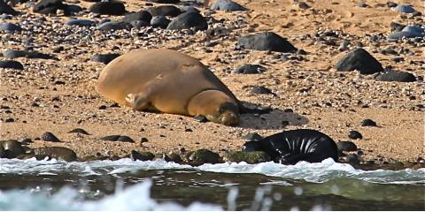 What to Know About the Endangered Hawaiian Monk Seal , Kekaha-Waimea, Hawaii