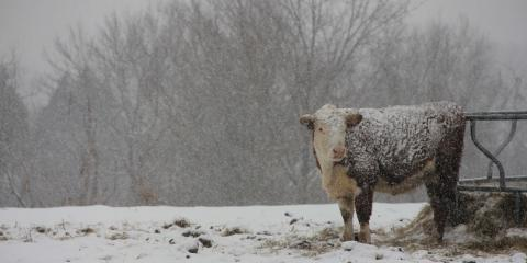 How to Prepare Your Cattle for Winter, Whiteville, Arkansas