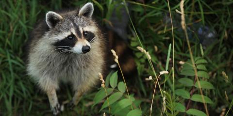Should I Be Concerned About Raccoons In My Property?, New Braunfels, Texas